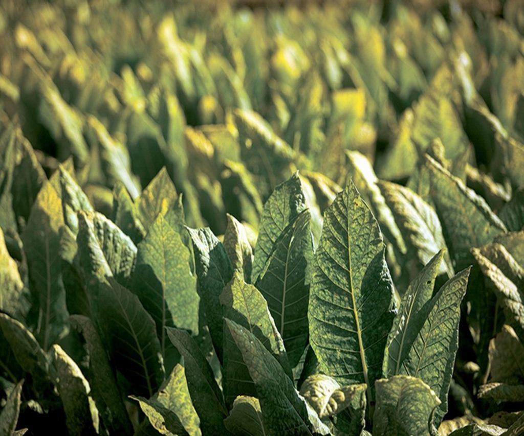 Табак сорта Virginia
