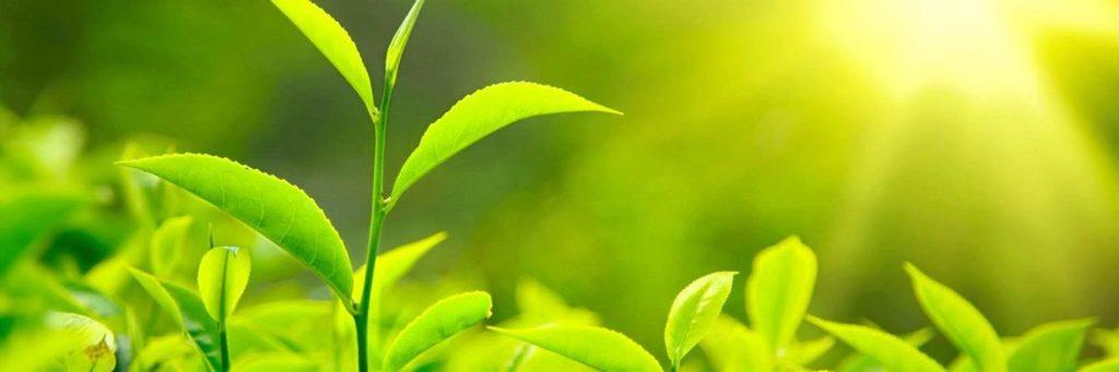 Органолептические свойства табака для кальяна на чайном листе